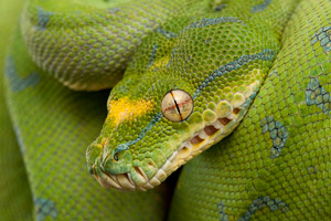 green tree pythons